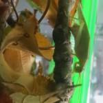 アオマツムシ 産卵中